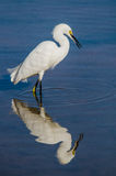Snowy Egret Reflection. Snowy Egret against blue water background with reflection Stock Image