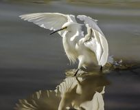 Snowy egret reflection. Coming in for a landing on the edge of a riparian pond, this elegant white water bird spreads its wings in dramatic fashion as the still Stock Photography