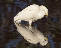 Snowy Egret Reflection on Pond. A Snowy Egret appears to be aware of its reflection in a pond at the Wakodahatchee Wetlands nature reserve in Delray Beach Royalty Free Stock Photography