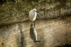 Snowy egret and reflection. In stpetes Florida Royalty Free Stock Photos