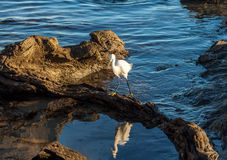Snowy egret reflection in tide pool. Snowy egret reflection in Corona del Mar California tide pool late afternoon Newport Beach Royalty Free Stock Images