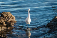 Snowy egret reflection in tide pool. Snowy egret in a tide pool at sunset at Corona Del Mar beach, in Newport Beach California Stock Photos