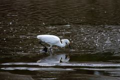 A Snowy Egret trying to catch a fish in the bubble filled water stock photos