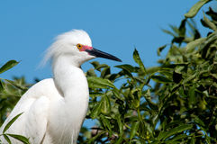 Snowy Egret  rest Royalty Free Stock Image
