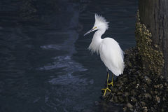 Snowy Egret Stock Photo