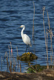 Snowy Egret On Rock Stock Photography