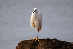 Snowy egret on a rock Stock Image