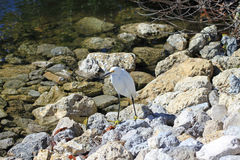 Snowy Egret on Rocks Royalty Free Stock Images