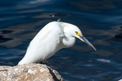 Snowy egret on rocks. A snowy egret on a rocky lake shore Stock Images