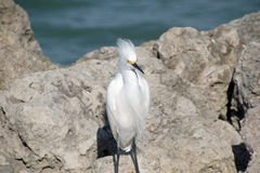 A Snowy Egret on the Rocky Shore Royalty Free Stock Photo