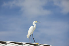 Snowy Egret on roof Royalty Free Stock Photos