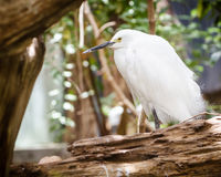 Snowy egret roosting Stock Image