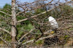 Snowy Egret Roosting in Mangrove Tree Stock Image