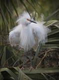 Snowy Egret ruffled feathers Royalty Free Stock Photo