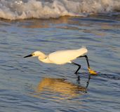 Snowy Egret Running Stock Images