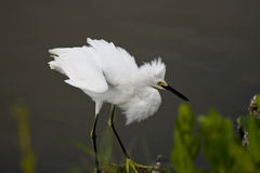 Snowy Egret's intentcity on a crab Stock Images