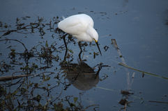 Snowy egret and it's reflection in water. Snowy egret (Egretta thula) hunting in water Stock Photo