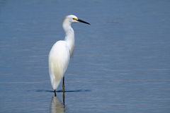 Snowy Egret, San Dieguito River, California Stock Photos