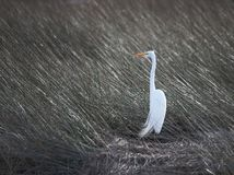 Snowy Egret and Sea Grass Stock Photography