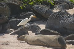 Snowy Egret with Sea Lion in Galapagos Islands. The snowy egret is a small white heron. They stalk prey in shallow water, often running or shuffling their feet Royalty Free Stock Image