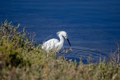 Snowy egret searching for food by the water. White snowy egret bird searching for food at the waters edge at Bolsa Chica Wetlands Ecological reserve in stock images