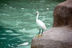 Snowy Egret, SeaWorld, San diego, California Royalty Free Stock Image