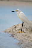 Snowy Egret (Egretta thula) Royalty Free Stock Photo