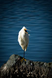 The Snowy Egret Royalty Free Stock Image