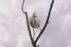 Snowy Egret. A Snowy Egret shows his stuff Stock Image