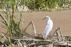 Snowy Egret by a Pond royalty free stock images