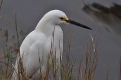 Snowy Egret Sits at Water`s Edge. Snowy Egret waits while hunting in shallow water on an overcast morning stock images