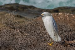 Snowy egret sitting in brush vegetation near the ocean royalty free stock photo