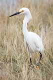 Snowy Egret. A small snowy egret making it's way through the grass filled pond stock photo