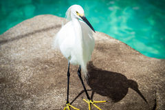 Snowy Egret. Is a small white heron Stock Photo