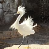 Snowy egret. White heron plumage Royalty Free Stock Images