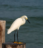 Snowy egret in South Florida Stock Photo