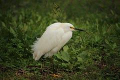 Snowy Egret. South side of Houma Louisiana Terrebonne Parish Stock Image