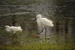 Snowy Egret. South side of Houma Louisiana Terrebonne Parish Royalty Free Stock Photo