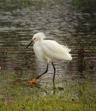 Snowy Egret. South side of Houma Louisiana Terrebonne Parish Royalty Free Stock Photos