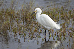 Snowy Egret Stalking a Fish in Shallow Water Royalty Free Stock Photography