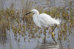 Snowy Egret Stalking a Fish in Shallow Water Royalty Free Stock Image