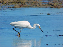 Snowy Egret Stalking Fish Stock Photo