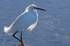 Snowy Egret Stalking Stock Photography