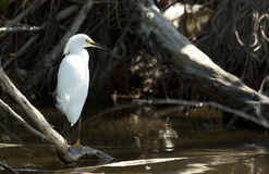 Snowy egret standing. By the water. Photo taken in Nassau Bahamas Royalty Free Stock Photography