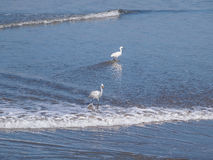 Snowy Egret standing on the beach Royalty Free Stock Photography