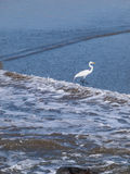 Snowy Egret standing on the beach Royalty Free Stock Photos