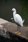 Snowy Egret standing on concrete Royalty Free Stock Image