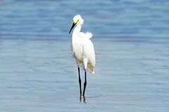 Snowy Egret Standing In The Water Royalty Free Stock Photos