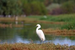 Snowy Egret Standing by a Lake (Large File) Stock Photography