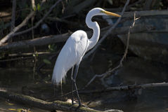 Snowy egret standing in mangrove swamp Royalty Free Stock Image